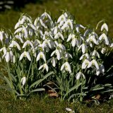 Midlothian Advertiser – Wake up and smell the snowdrops
