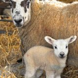 Midlothian Advertiser: Lambs with a difference at The Roslin Institute