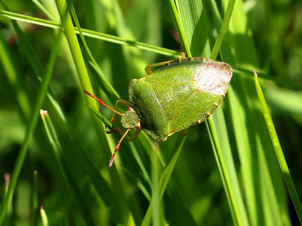 Palomina Prasina - the Green Shield bug