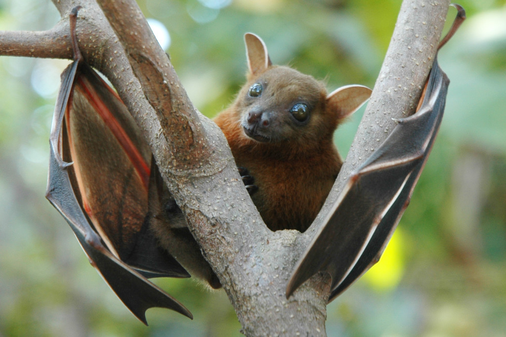 short-nosed fruit bat (Cynopterus sphinx)