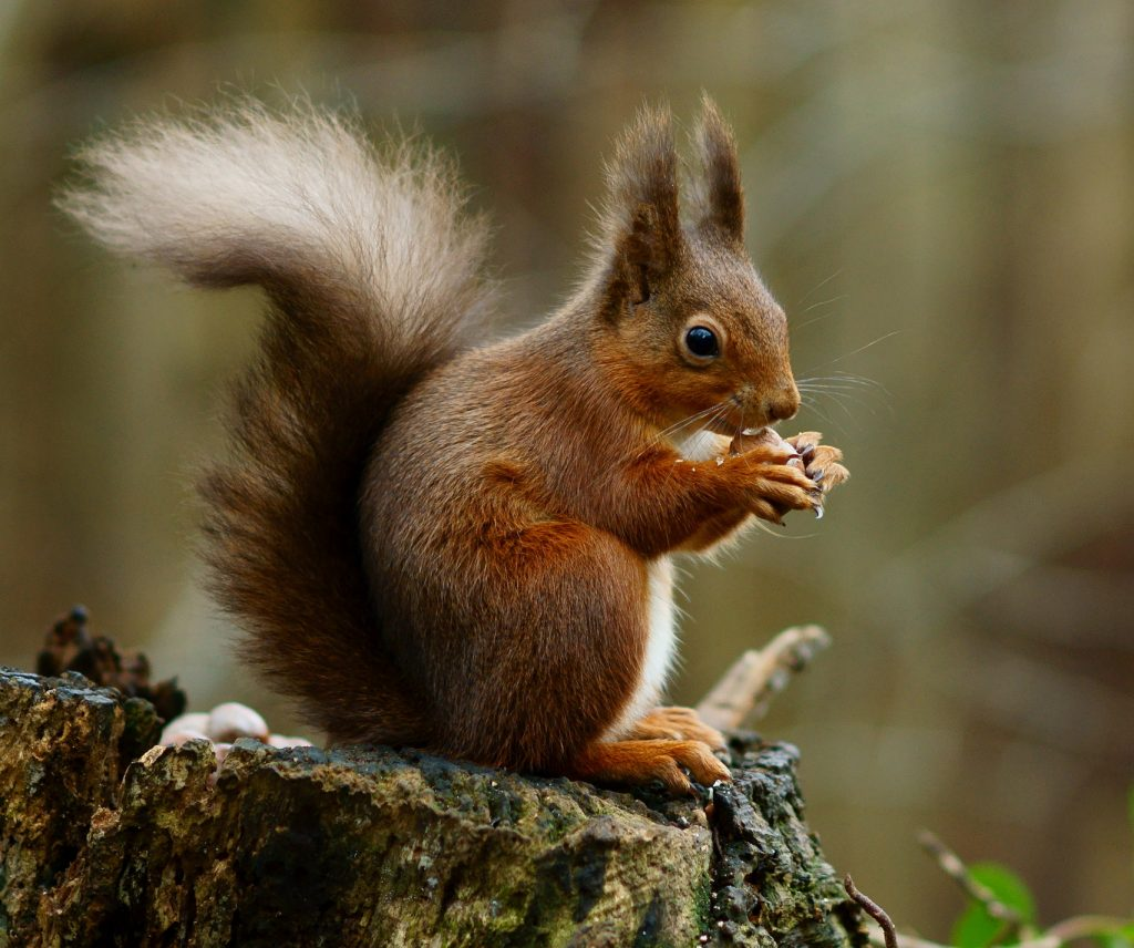 red squirrel posing