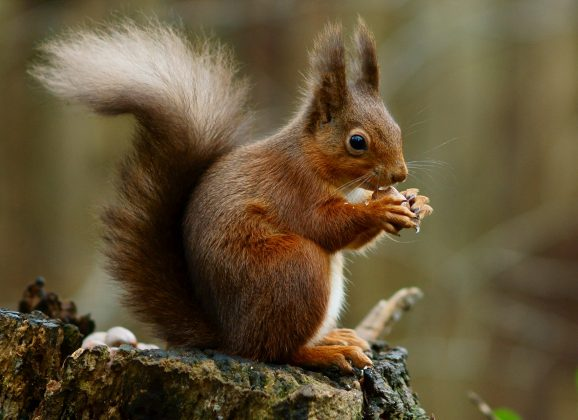 Red squirrels struck by medieval strain of leprosy